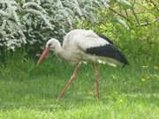 Naturpark Insel Usedom: Storch bei Morgenitz.