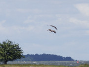 Naturpark Insel Usedom: Seeadler am Stettiner Haff.